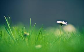 grama, flor, Macro