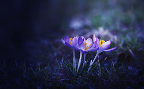 Flowers, Crocuses, flora, Macro