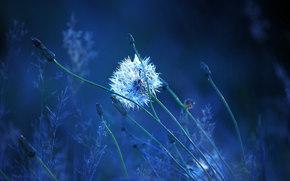 dandelion, plant, Macro