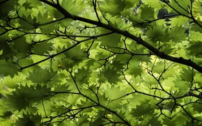 BRANCH, foliage, tree, nature