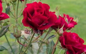 розы, цветы, флора