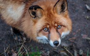 fox, fox, Redhead, visualizzare