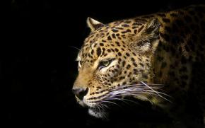leopard, predatore, animale