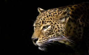 leopard, predator, animal