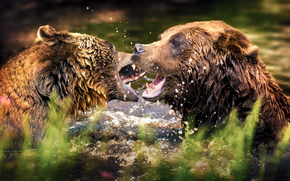 Bears, water, spray, animals