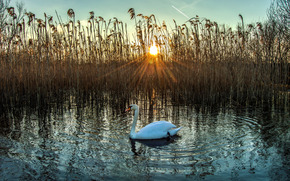 lake, sunset, swan