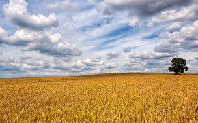 field, ears of corn, sky, clouds, landscape