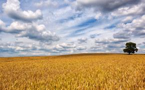 поле, колосья, небо, облака, пейзаж