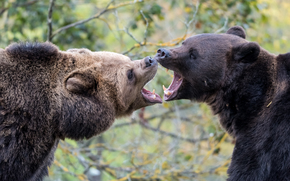 Bears, brun, animaux