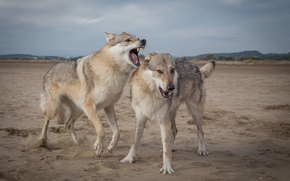 Wolves, predators, animals
