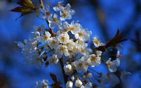 cherry blossoms, flora, Flowers