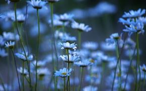 Rumianek, Kwiaty, Macro