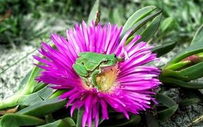 花, 青蛙, 宏