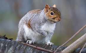 squirrel, animal, view