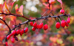 branch, BERRY, fruit, foliage, Macro