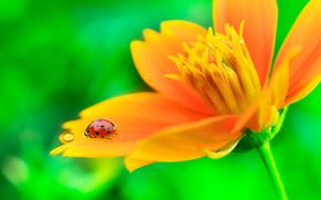 flower, ladybug, Macro