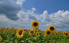 field, Sunflowers, sky, clouds, landscape