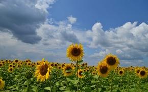 pole, Słoneczniki, niebo, chmury, krajobraz