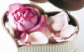 обои от Kisenok, день святого валентина, день всех влюбленных, праздник, сердце, роза, лепестки, коробочка