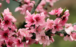 Flowers, flowering, COLOR, BRANCH, SPRING, fruit trees