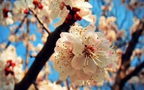 Fleurs, floraison, COULEUR, BRANCH, SPRING, les arbres fruitiers