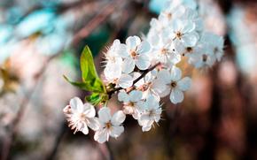 Fiori, fioritura, COLORE, FILIALE, PRIMAVERA, alberi da frutto