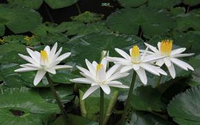 nufăr, Nuferi, Flori, floră