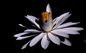 nénuphar, Nénuphars, Fleurs, flore
