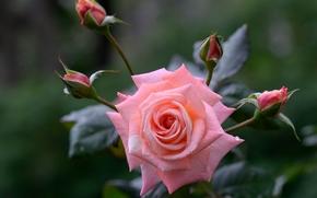 róża, Roses, kwiat, Kwiaty, flora