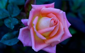 rosa, Roses, flor, Flores, flora
