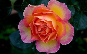 роза, розы, цветок, цветы, флора