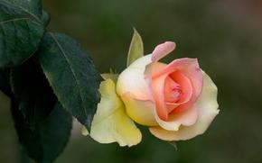 rosa, Rosas, flor, Flores, flora