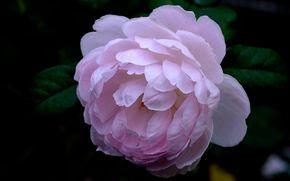 rose, Roses, flower, Flowers, flora