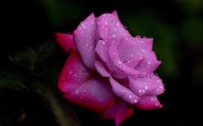 stieg, Roses, Blume, Blumen, flora