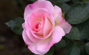 rose, Roses, fleur, Fleurs, flore