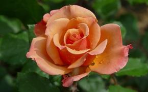 玫瑰, 玫瑰, 花, 花卉, 植物群