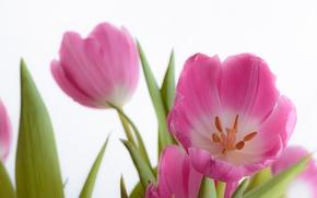 TULIPS, Petals, Macro