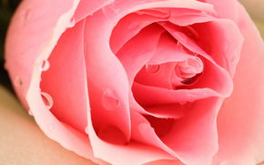 Flowers, rose, Roses, flower, Macro, drops