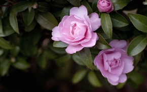 Flowers, rose, Roses, COMPOSITION, garden, bush