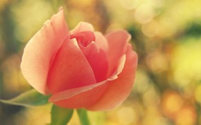 Fiori, fiore, rosa, Roses