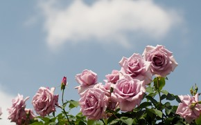 Flowers, rose, Roses, COMPOSITION, garden, bush, sky