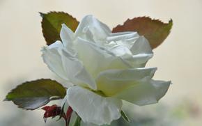 Fleurs, fleur, rose, Roses