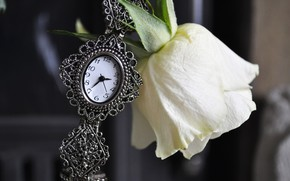 Flowers, flower, rose, Roses, watch