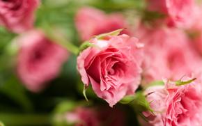 цветы, цветок, роза, розы, композиция, букет