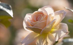 Blumen, Blume, stieg, Roses