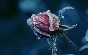 Kwiaty, kwiat, róża, Roses, mróz