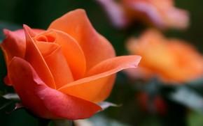 花卉, 花, 玫瑰, 玫瑰