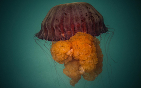 meduse, Medusa, Mondo subacqueo, acqua, mare, oceano, gli abitanti dei mari e degli oceani