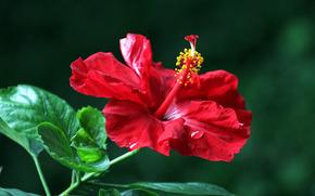 hibiscus, Hibiscus, Flori, floare, floră