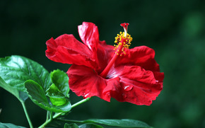 Hibiskus, Hibiskus, Blumen, Blume, flora